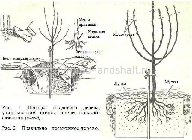Когда сажают плодовые деревья 947